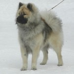 Eurasier in Norway, a polar type of dog (Photographer unknown)