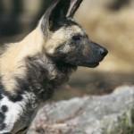 African Wild Dog -African Wild Dog
