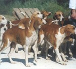 The Poitevin is a pack hound  that needs to be in a group to feel at ease.