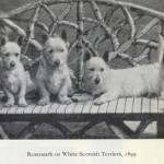 Three Roseneath Terriers or Scottish Terriers - 1899