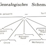 The 'genealogical sceme' - Wipfel showed that the Wolfspitz and the Chow Chow  were on the same level in evolution.