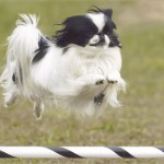 "Superchin - ""Nikki"" (Kanukryk's Nikki Johnson NA, NAJ, OA, ...) one of Judy Johnson's Japanese Chin has 48 performance titles."
