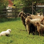 A Pumi herding sheep. A good hunting dog or sheepdog had the same  value as a cow or a sheep; an excellent sheepdog could be worth  an annual salary. (Photo: www.nimfea.hu)