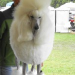 Poodle Suffolk