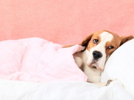 Canine Chronicle Sick in bed