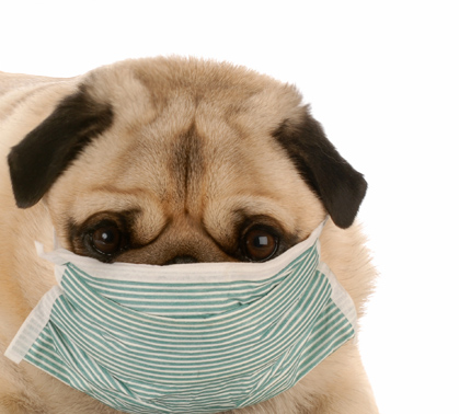 canine chronicle sick pug | Canine Chronicle