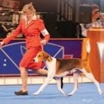 American Foxhound GCh Ch Dunstan Tucker