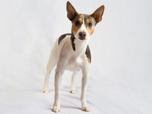 Rat terrier and akc