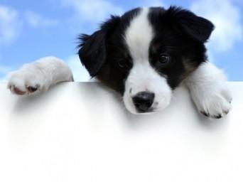 Border Pup