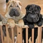 Puppies-AtTheGate-Bauer-LaVere300dpi-copy