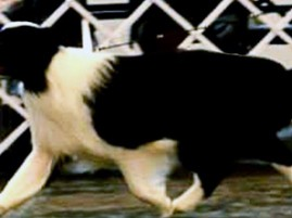 Correct movement - showing the front and rear foot use the same spot to land without passing each other.  The dog is also reaching forward from the shoulder to land correctly on the front foot.