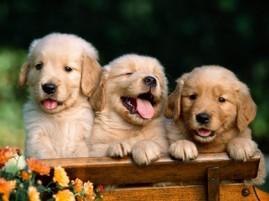 golden_puppies