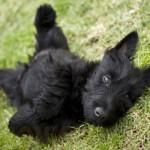 CC Puppy