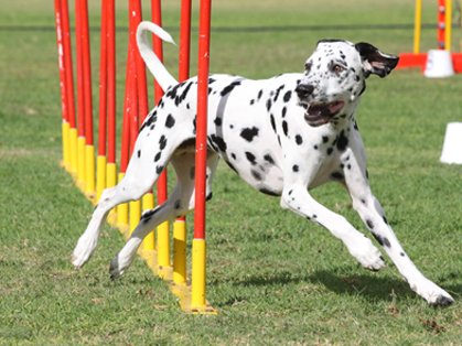 Top Dogs Crowned At Akc Obedience Classic And Akc Agility