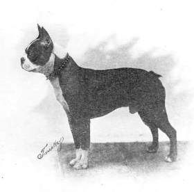 Kingway Kennels Making Boston Terrier History Canine Chronicle