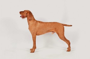 Both breeds will be eligible to compete in AKC events beginning June ...
