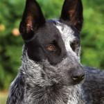CC-New Breeds.Australian ST Cattle Dog08.Head.Ambajaye Kennels. Photo B. Merchant