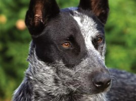 CC-New Breeds.Australian ST Cattle Dog08.Head.Ambajaye Kennels. Photo B. Merchant