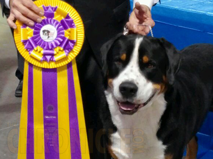 greater swiss mountain dog club of america - 300×224
