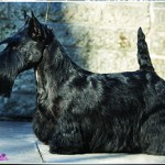 MBIS MBISS GCH Invercrest Gotcha Girl