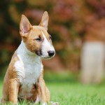 riggsbee-bullterrier_bkg_feature