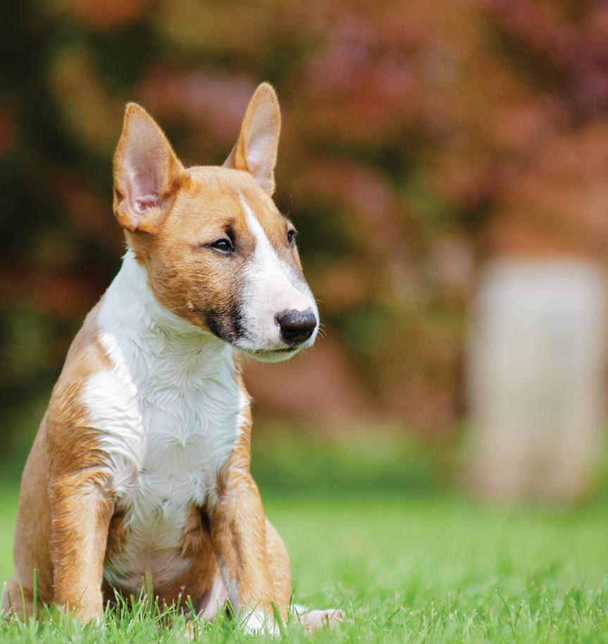 Bull Terrier Dog Breed: photos, features, description 27
