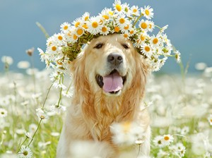 Golden _Flowers_Canine_Chronicle