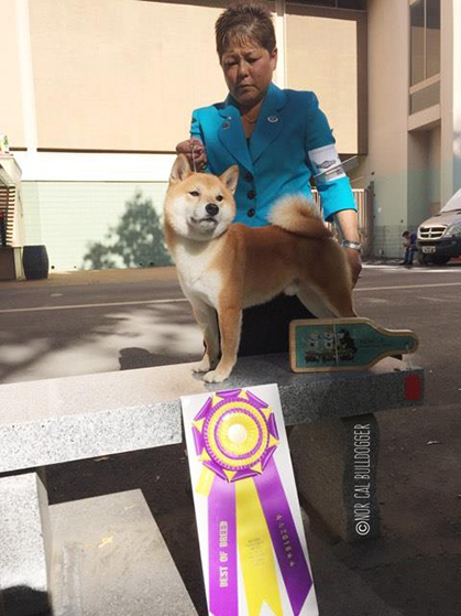 National Dog Show  Shiba Inu