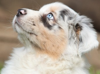 Aussie_Canine_Chronicle