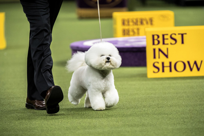 Bichon Frise For The Win Westminster Kennel Club Dog Show Crowns