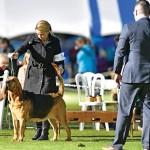 Hamil Bloodhound