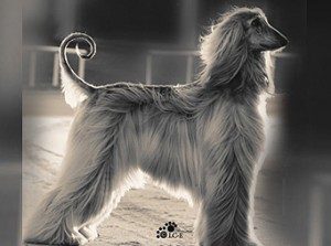 Breed Priorities – The Afghan Hound   Canine Chronicle
