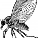 Buffalo Gnat, vintage illustration.