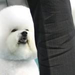 Friggsbee-bichonfrise_bkg