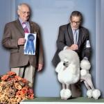 Poodles (Miniature) GCH. Encor Campanile Maestro