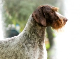 German Wirehaired Pointers