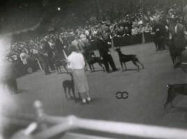 CanineChronicle WKCDobermanRING 1960 3