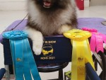 GCH Sherwood's Singing in the Rain at Keeshond Heaven DCAT