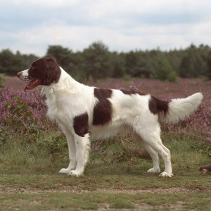 Dutch Hunting Dog Breeds